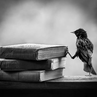 Studious Starling