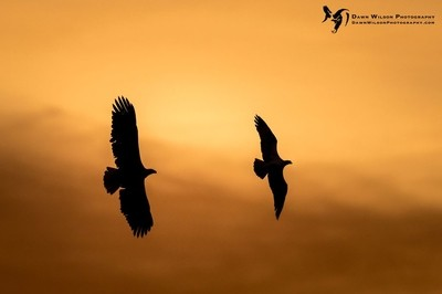 Bald_eagle_and_osprey_EP_2020_1