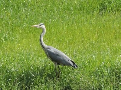 heron on lookout