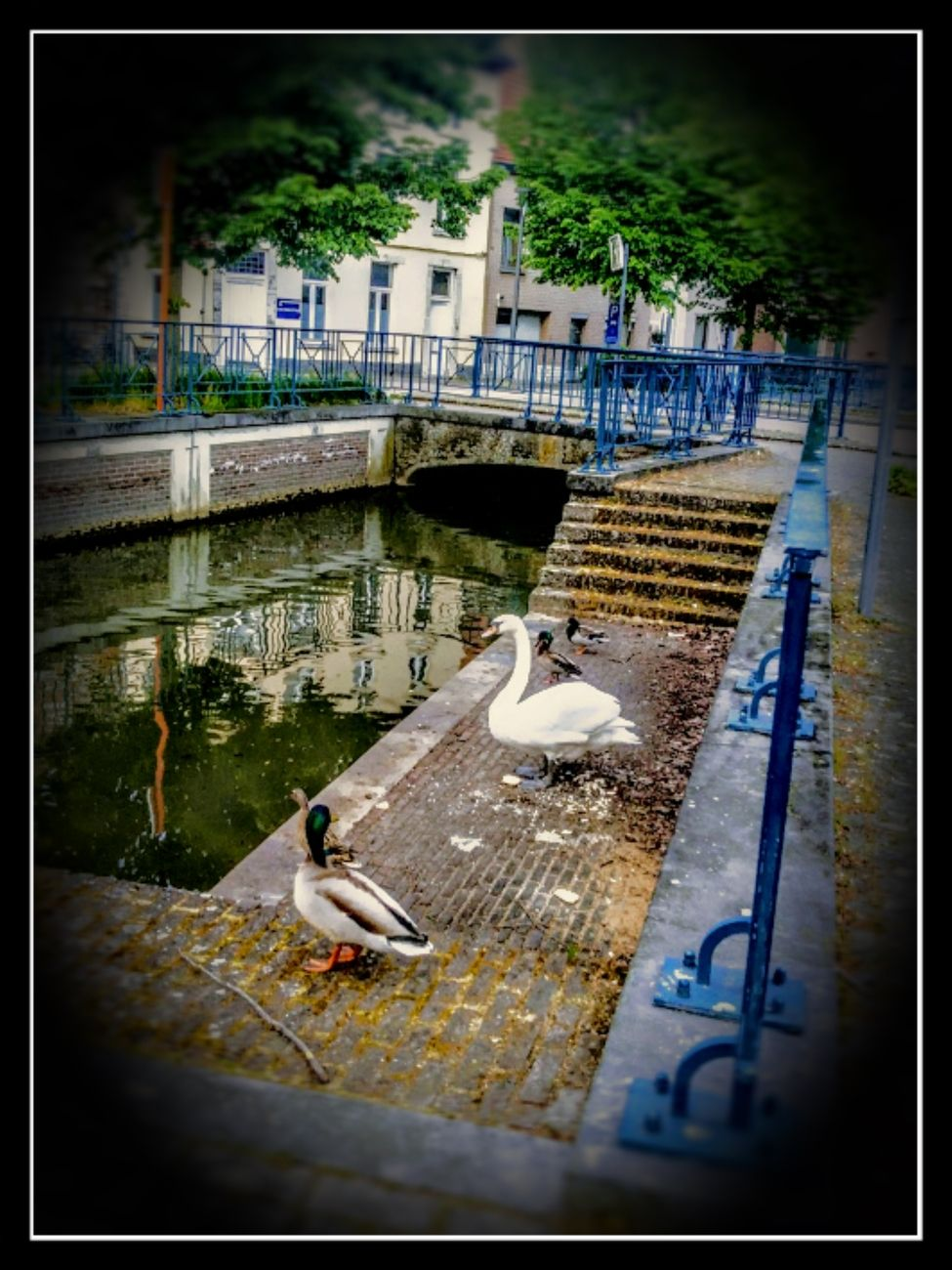 In Tienen a small river runs through the city And this brings beautiful scenes, such as the Swan and the ducks here Sincerely Theo-Herbots-Photography https://groetenuittienen.blog/