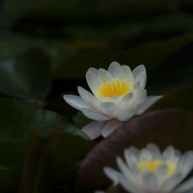 Water lily DSC00145