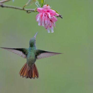 Rufus-tailed Hummingbird DSC04555