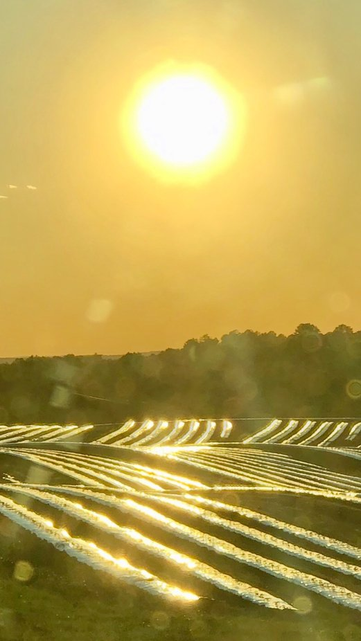 Sunlight over tomato fields.
