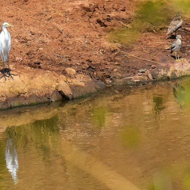 Great Egret and Water Dikkop on riverbank near Punda Maria Rest Camp in Kruger National Park.