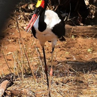Female Saddle-billed Stork on riverbank near Punda Maria Rest Camp.