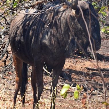Blue Wildebeest spotted near Punda Maria Rest Camp.