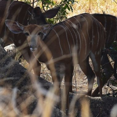 Young Nyala ewe spotted near the northern border of the Kruger National Park.