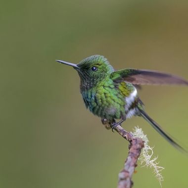 Green Thorntail DSC04565
