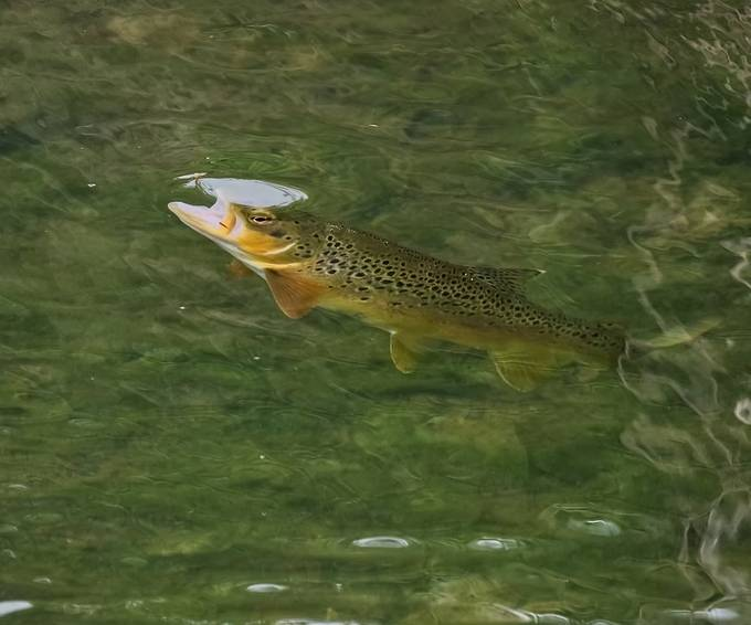 Trout rising on the former Louth Canal. This would have been a fantastic trout stream once upon a time, before industry stepped in.
