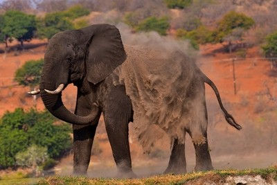 DSC_5382 Elephant 4 Okavango Delta 2019_crrsh