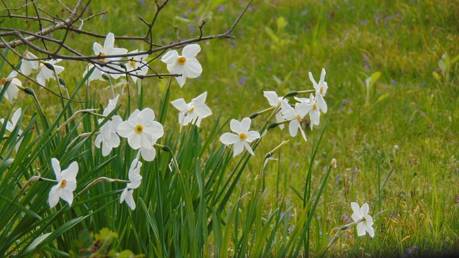 N. tazetta, commonly known as narcissus, appear as a bouquet of mini-daffodils, with several blos...