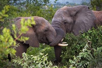 Singwe Elephant 31