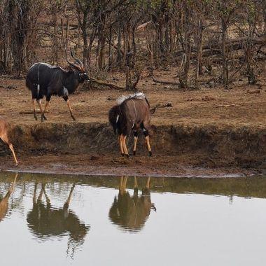Nyala hair rising battle to drink water at waterhole next to Punda Maria Rest Camp in Kruger National Park.