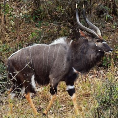 Big Nyala Bull on the march near the northern border of the Kruger National Park.