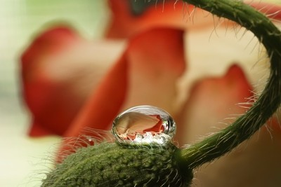 Rose Drop Poppybud