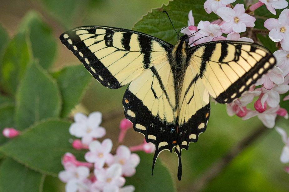 Tiger Swallowtail_1503