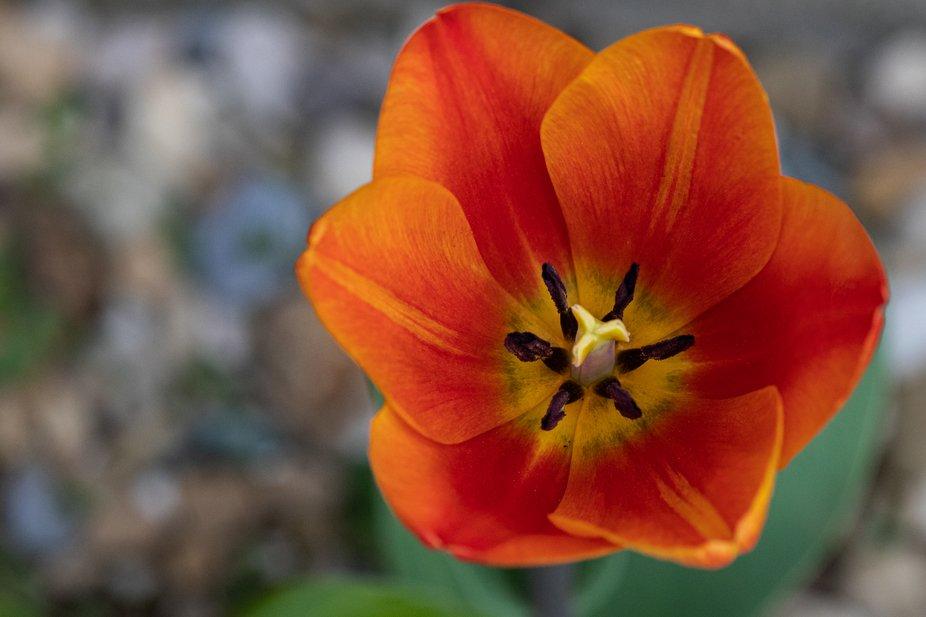 Tulip_1514