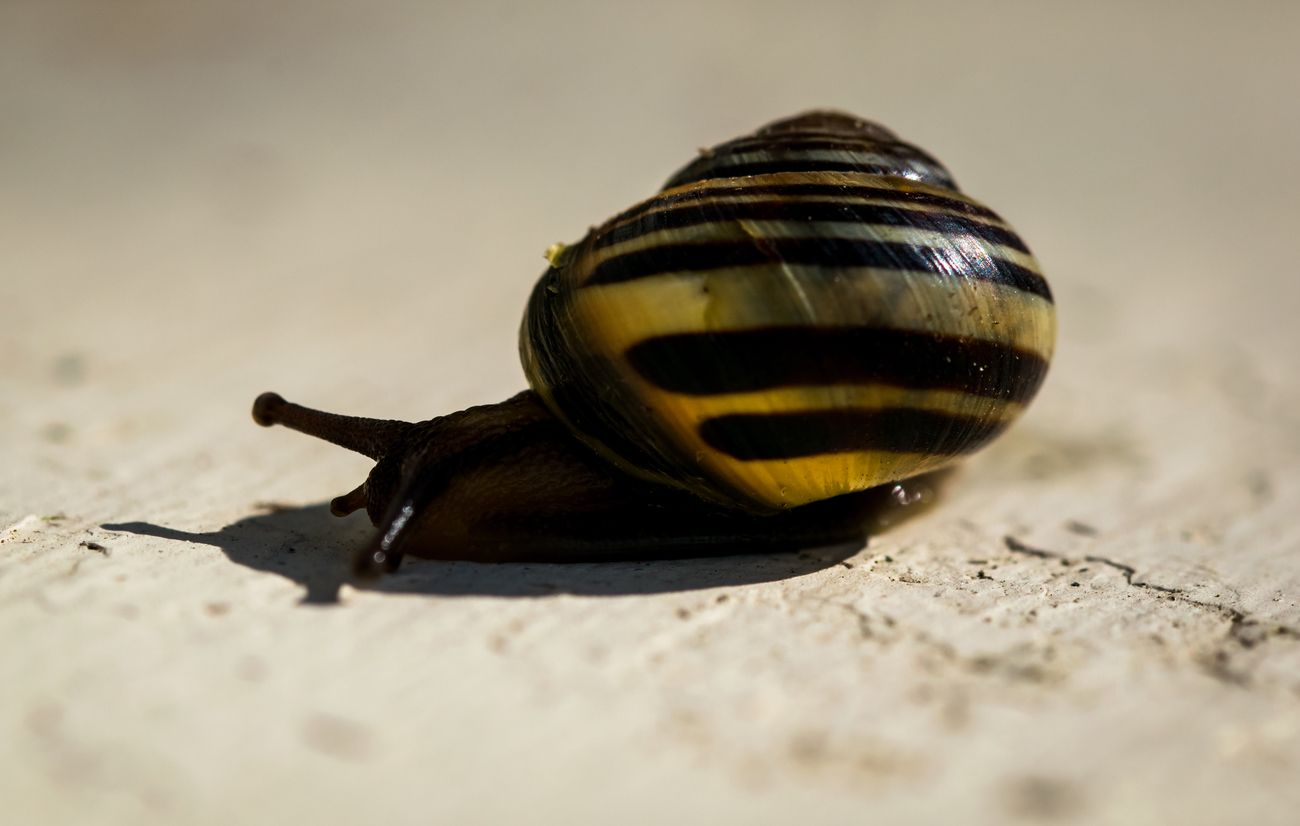 Snail with a striped shell