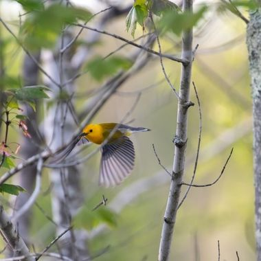 Prothonotary Warbler going from branch to branch with the later afternoon Sun from behind as it h feeds on the caterpillars in the trees.