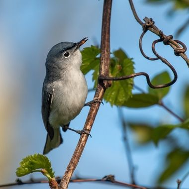 This tiny Blue-grey Gnat-catcher is hunting the trees for snacks in the early evening.