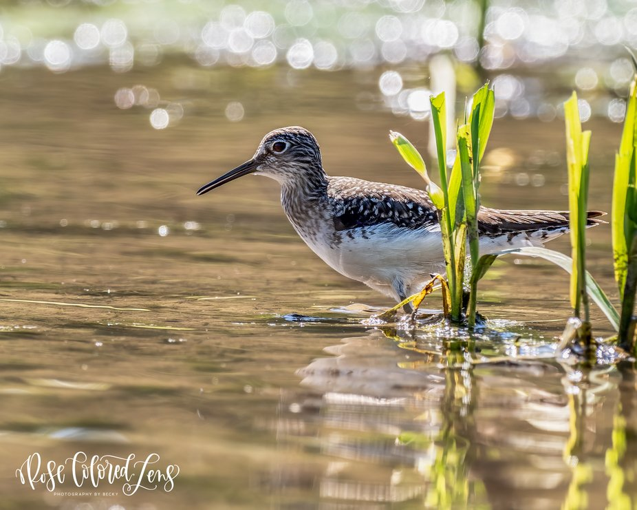 Mother Sandpiper