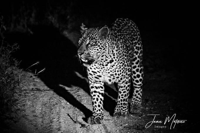 Leopard at Night 2020 BW