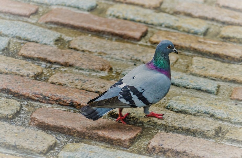 While walking around in Quebec City saw this completely comfortable pigeon walking around on the old stones, unflustered by all the people in the vicinity. In this picture the pigeon actually carved out a space for itself.
