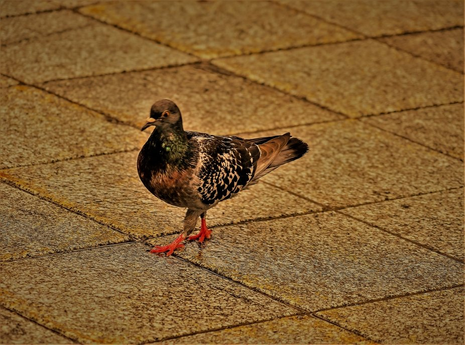 Another pigeon I saw in Quebec city who had made himself at home.  The red in the eyes is natural.