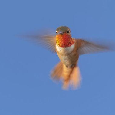 Allen's Hummingbird DSC01984