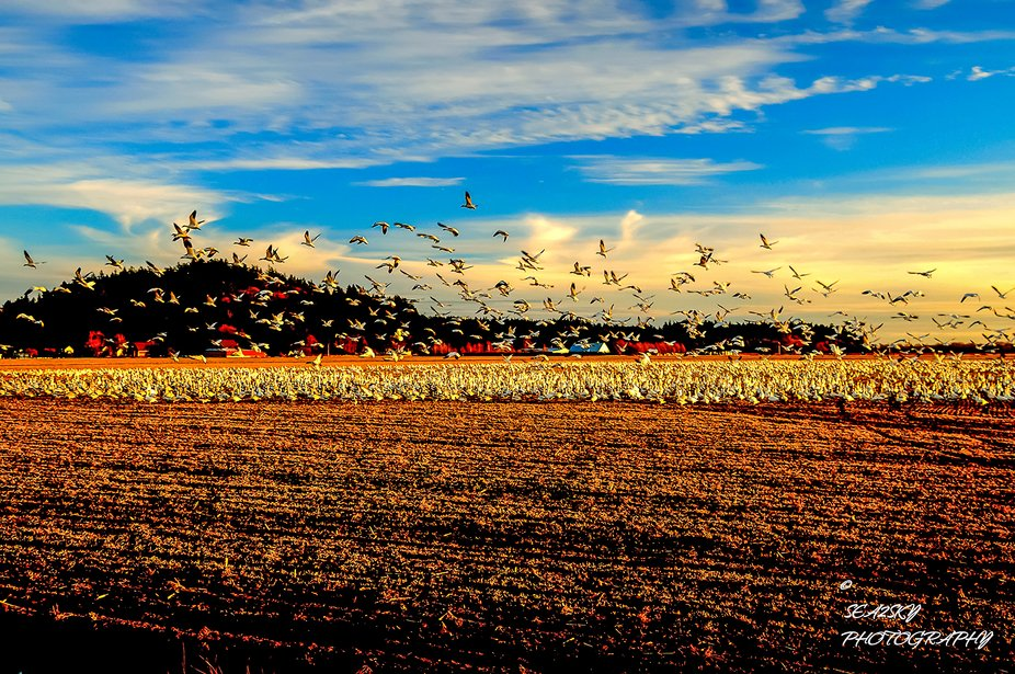 Snow Geese starting their evening migration from their feeding fields in Skagit Valley to their r...