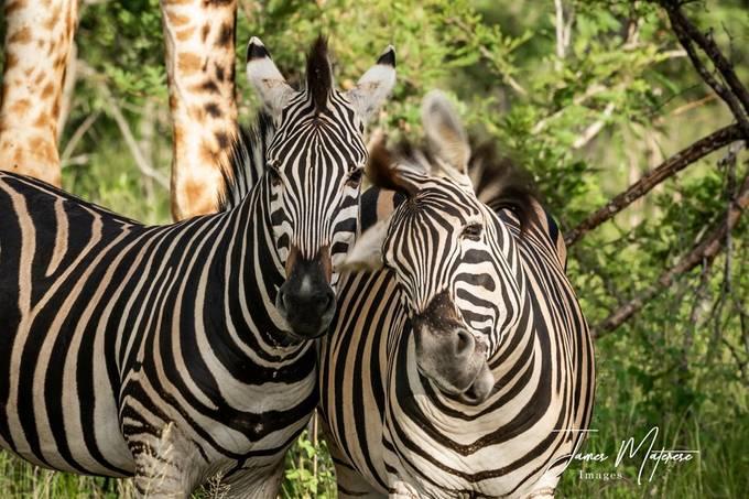 Zebra Head Shake 2020 3