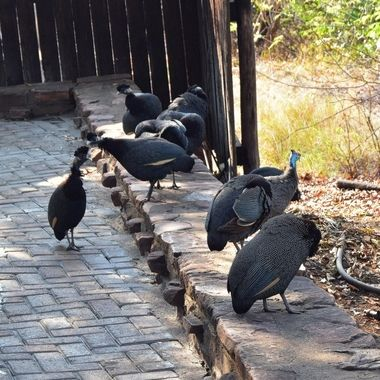 Helmeted Guineafowl among a flock of Crested Guineafowl in Punda Maria Rest Camp in Kruger National Park.