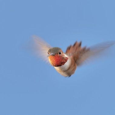 Allen's Hummingbird DSC01979