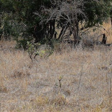 Warthog family observed near Punda Maria Rest Camp in Kruger National Park.
