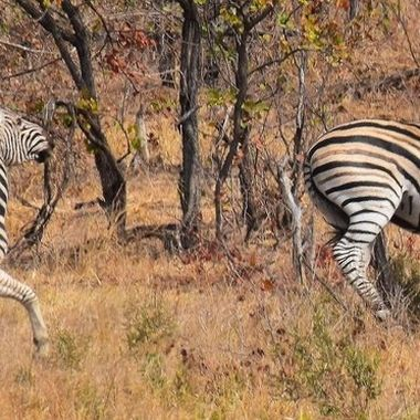 Two Burchell's Zebra on the run near the northern border of the Kruger National Park.