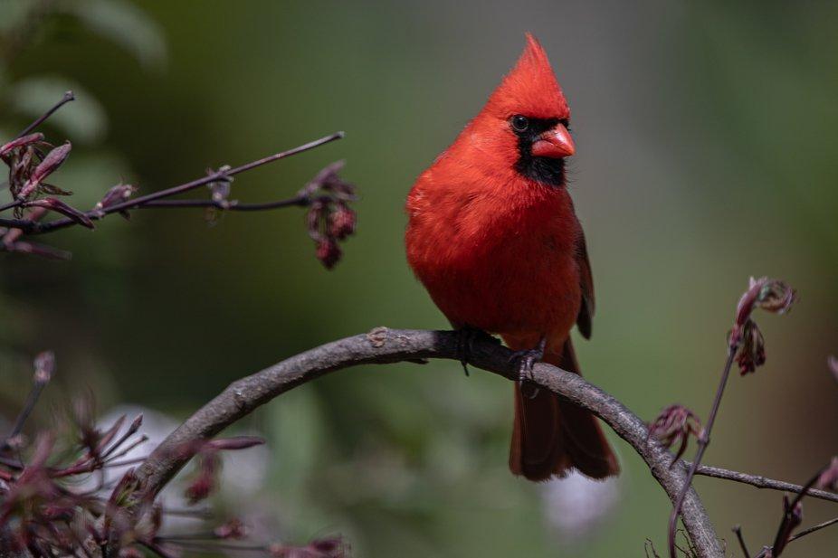 Male Northern Cardinal_2179