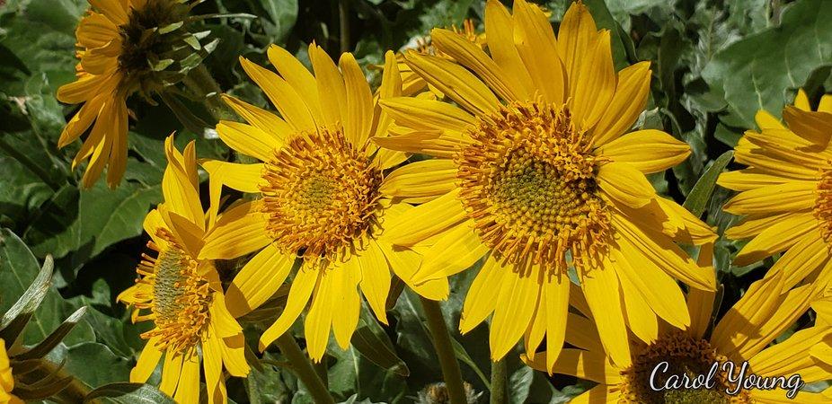 Wild sun flowers