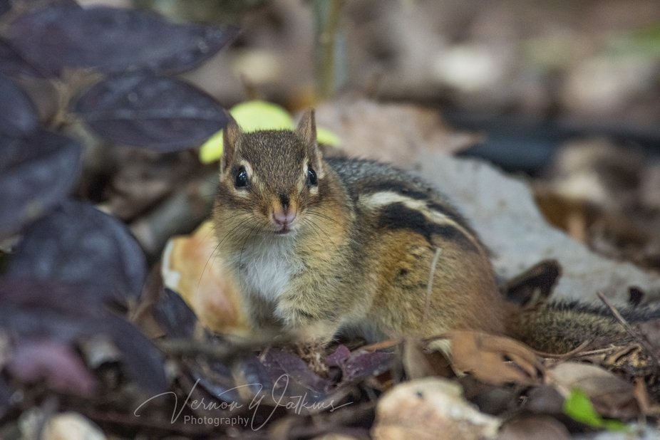 Another little chipmunk. We have these guys all over. This one allowed me to get pretty close and...
