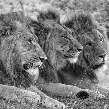 Lion 3 Brothers B&W