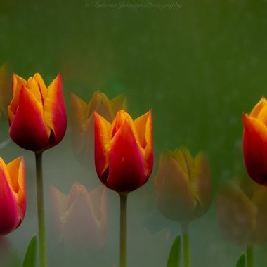 Tulips in my Garden
