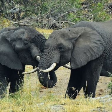 Two Elephants doing a trunk wrestling near Letaba Rest Camp in Kruger National Park.