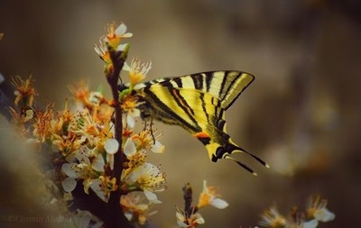The first butterfly of Spring