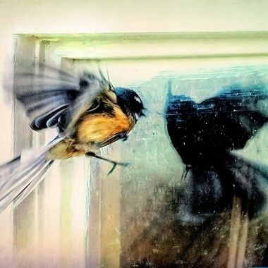 Self Loathing. This fantail was caught trying to get in but it couldn't get past its own reflection!