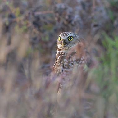 burrowing Owl DSC03646