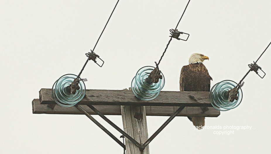 Caught this big mature American Bald Eagle on a pole where he had a good view of the pond where h...