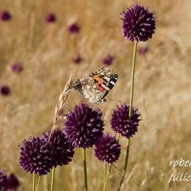 Mariposa entre flores en La Sierra de Francia (Spain)