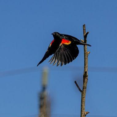 Red Winged Blackbird Takes Flight