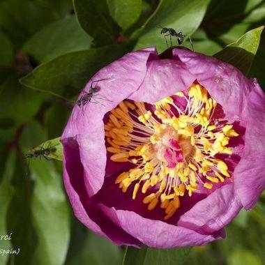 nombre cientifico, Paeoniaceae.