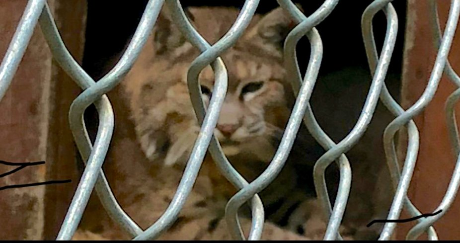 Lynx, at the local wild animal sanctuary.