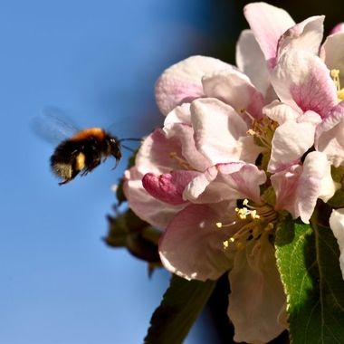 My Apple tree in the garden with lots of blossoms attracting plenty bees